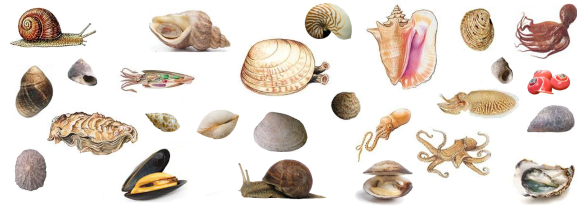 http://soutien67.free.fr/svt/animaux/zoo/mollusques/mollusques.htm